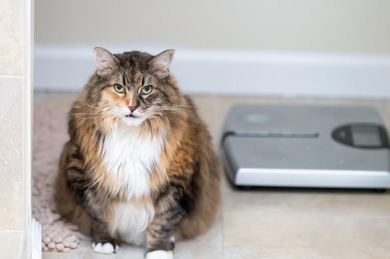 RCL - Ultra Pet | Fat Cat