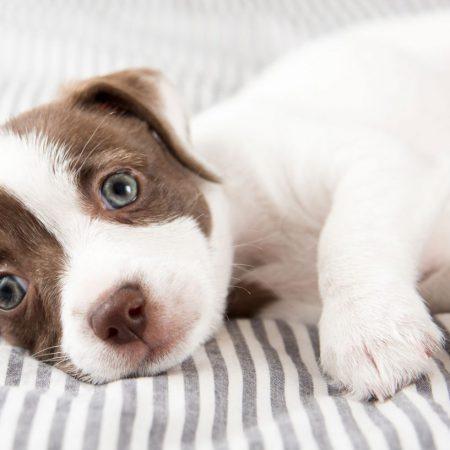 RCL - Ultra Pet | Puppy