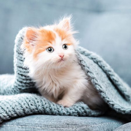 RCL - Ultra Pet | Fluffy kitten