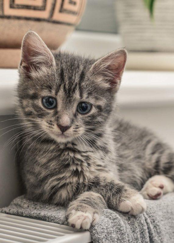 RCL - Ultra Pet   Grey Kitten